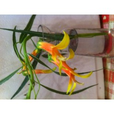 Lobelia laxiflora var. angustifolia