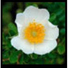 Rosa bracteata (Macartney rose)