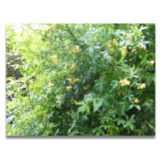 Rosa banksiae lutescens