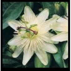 Passiflora caerulea Constance Elliott
