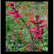 Salvia involucrata Mulberry Jam