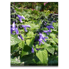 Salvia guaranitica Black and Blue