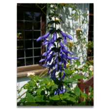 Salvia guaranitica Blue Enigma
