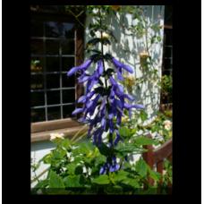 Salvia guaranitica Blue Enigma
