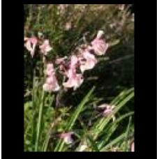 Salvia greggii Stormy Pink