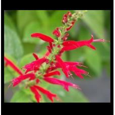 Salvia elegans