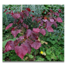 Cercis canadensis Forest Pansy (personal shoppers only)