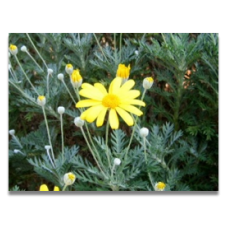 Euryops pectinatus  (more mid-June)
