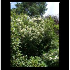 Eucryphia x nymansensis Nymansay