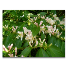 Lonicera maackii (personal shoppers only)