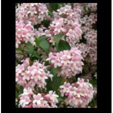 Kolkwitzia amabilis Pink Cloud