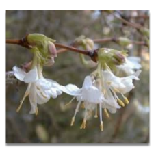 Lonicera purpusii Winter Beauty