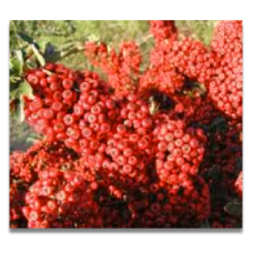 Pyracantha Saphyr Rouge (Cadrou)