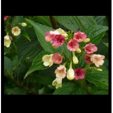 Weigela coraeensis Alba