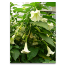 Brugmansia single white