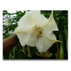 Brugmansia double white