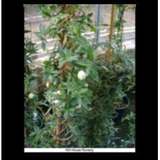 Billardiera longiflora alba