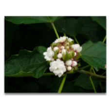 Clerodendrum fragrans var. chinense