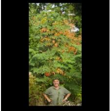 Dahlia imperialis (ready 2018)