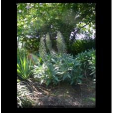 Echium fastuosum (candicans)