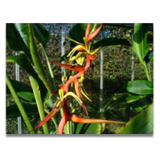 Heliconia schiedeana (personal shoppers only)