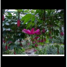 Passiflora antioquensis 'Hill House'