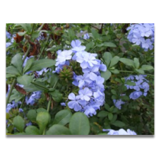 Plumbago auriculata Crystal Waters