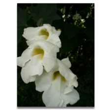 Thunbergia grandiflora 'Alba'