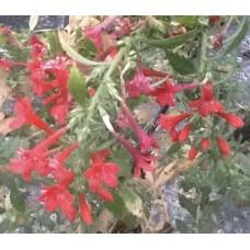 Loeselia mexicana