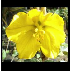 Fremontodendron Californian Glory