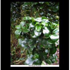Ligustrum japonicum rotundifolium