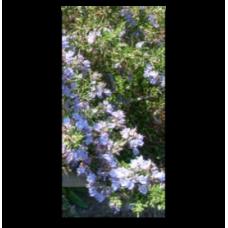 Rosmarinus officinalis Primley Blue