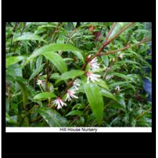 Sarcococca hookeriana var.digyna Purple Stem