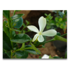 Carissa macrocarpa
