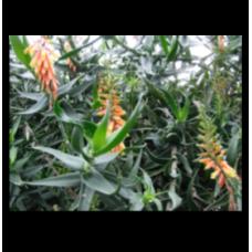 Aloe ciliaris