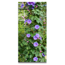 Ipomoea indica syn. learii
