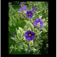 Solanum rantonnetii variegata